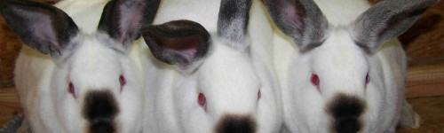 10 Helpful Tips on Raising Rabbits for Meat